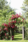 Arch covered in deep pink roses above garden gate