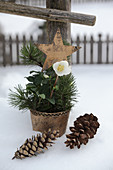 Hellebore, pine sprigs and star decoration in plant pot in snow