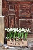 Alte Getränkekiste aus Holz mit Schneeglöckchen bepflanzt