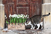 Cat sniffing snowdrops planted in crate