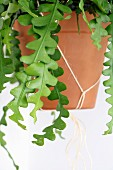Foliage plant in terracotta pot in macramé holder