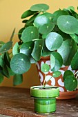 Chinese money plant in painted terracotta pot and offshoot in green retro pot