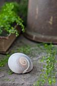 Still-life arrangement of snail shell and shepherd's purse