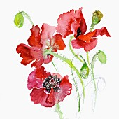 Common Poppy (Papaver Rhoeas)