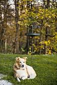 Dog on garden lawn