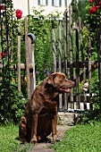 Dog sitting on path in front of garden gate leading to cottage garden