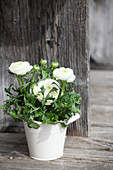 Potted white ranunculus