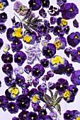 Violas, lilac flowers and lavender