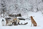 Dog sitting next to old toboggan used as bench in snowy garden