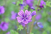 Purple-flowering wild mallow