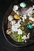 Colorful Easter quail eggs with spring cherry flowers, moss and bird feather on vintage metal tray