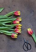 Tulpen mit Schere
