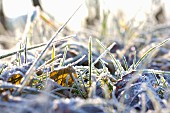 Grass and alder leaves covered in hoar frost in sunshine