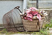 Rex begonias wrapped in hessian arranged in wire basket