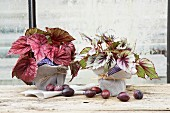 Autumnal arrangement of potted Rex begonias wrapped in napkins on windowsill