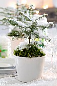 Small potted fir tree decorated with moss and artificial snow