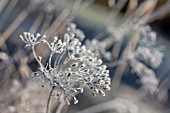 Cow parsley seed heads covered in hoar frost