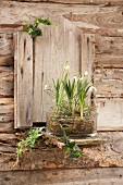Snowdrops and spring snowflakes in glass bowl on façade of wooden garden shed