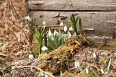 Frühlingsboten: Schneeglöckchen und Märzenbecher mit Moos vor Holzwand