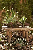 Snowdrops and spring snowflake planted in bark