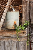 Ivy, snowdrops and antique watering can outside wooden hut