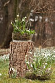 Spring snowflakes and snowdrops in glass bowls on and next to tree stump in garden
