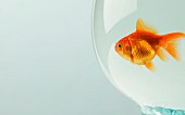 Goldfish (Carassius auratus) in goldfish bowl