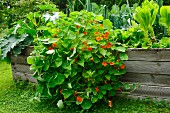 Nasturtiums in a raised flower bed