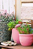 Pink painted plant pots with succulents and with mint