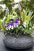 Metal bowl planted with violas and grape hyacinths