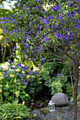 Blau blühende Kartoffelblume (Solanum rantonnetii) im Garten