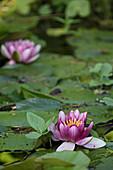Lilies on a pond