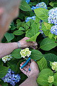 Man cutting hydrangea sprig (to propagate from cutting)