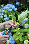Hand holding hydrangea sprig (to propagate from cutting)
