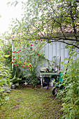 Potting table against shed wall with climbing rose in rustic garden