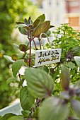 Basilikumpflanze der Sorte 'African Blue' auf dem Balkon