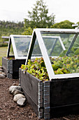 Lettuces in raised beds with glass cloches