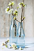 Flowering wild cherry twigs in blue glass bottles in front of wooden wall