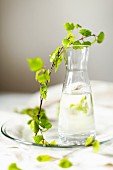 Fresh birch water (harvested in spring) in small glass carafe and sprig of spring birch on glass plate