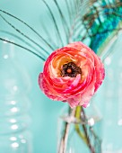 Ranunculus flower against turquoise background