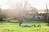 Herd of sheep in meadow outside English farmhouse