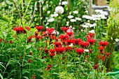Flowering bee balm (Monarda) in garden