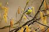 Blaumeise (Parus caeruleus) sitzt auf Zweig im winterlichen Haselnussstrauch