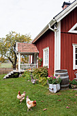 Hens on lawn in autumnal garden of Falu-red Swedish house