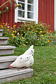 White hen on steps leading to Falu-red wooden house with flowerbed