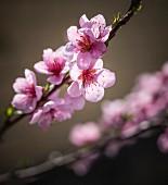 Zweig mit Pfirsichblüten im Sonnenlicht