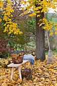 Goldener Herbst : goldgelbe Blaetter von Acer platanoides ( Ahorn )