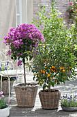 Fortunella japonica (kumquat) and bougainvillea in baskets