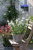Gaura 'Lillipop pink', 'Snowbird' (Lindheimer's beeblossom) in baskets