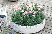 White bowl with Dianthus caryophyllus (carnation)